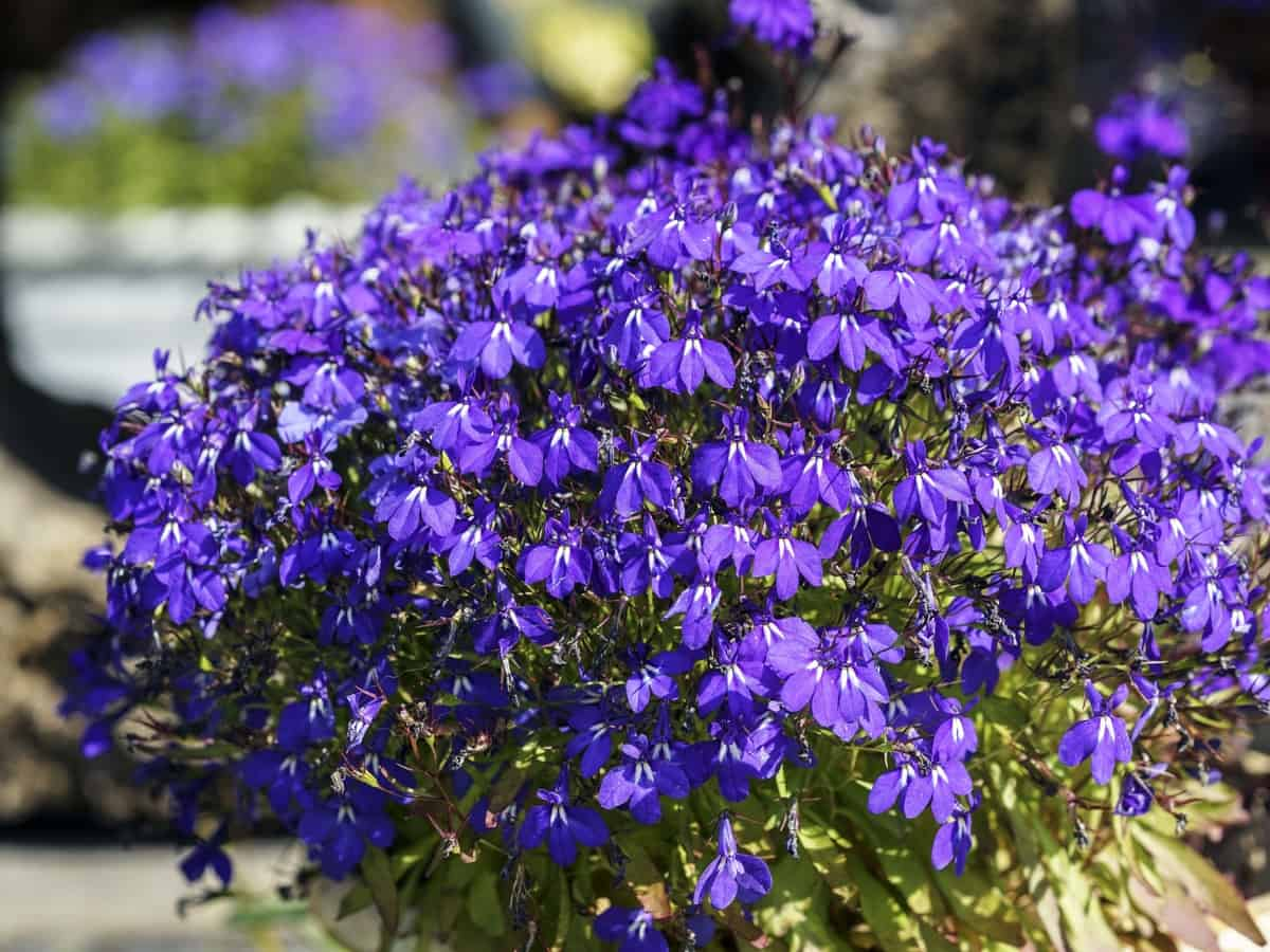lobelia requires minimal care