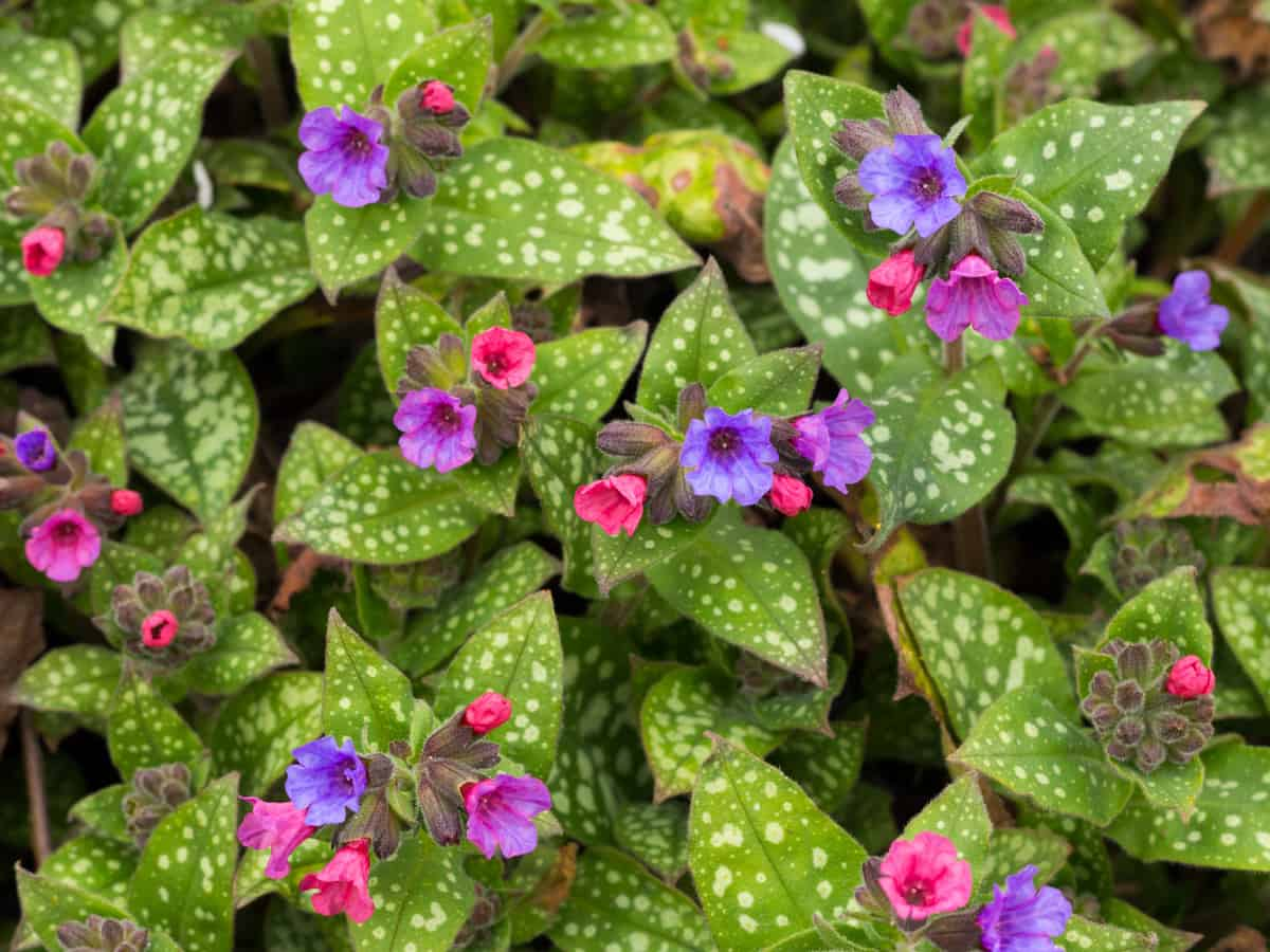 lungwort is a woodland plant