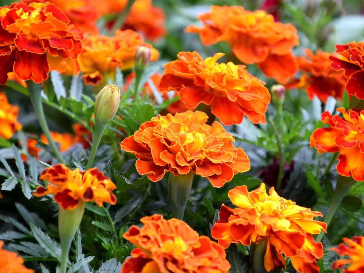 marigolds provide a burst of color in the garden