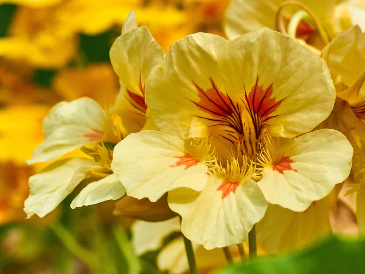 nasturtium is a hardy ground cover