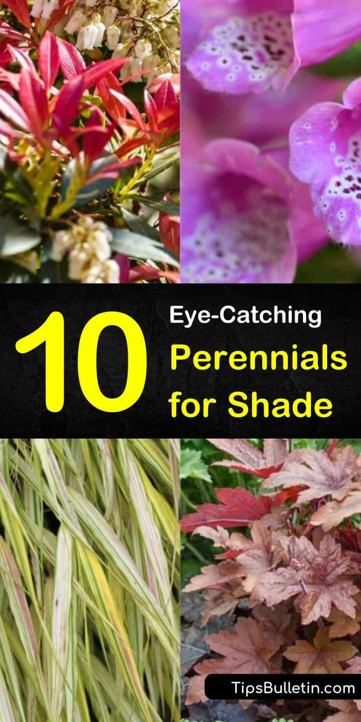 Learn which drought tolerant flowering perennials for shade are perfect for your backyards, front yards, flower beds, and landscapes. Discover which zone 5 perennials don't need sun and can grow tall through the spring and fall. You'll add texture to your garden. #gardening #perennials #shade