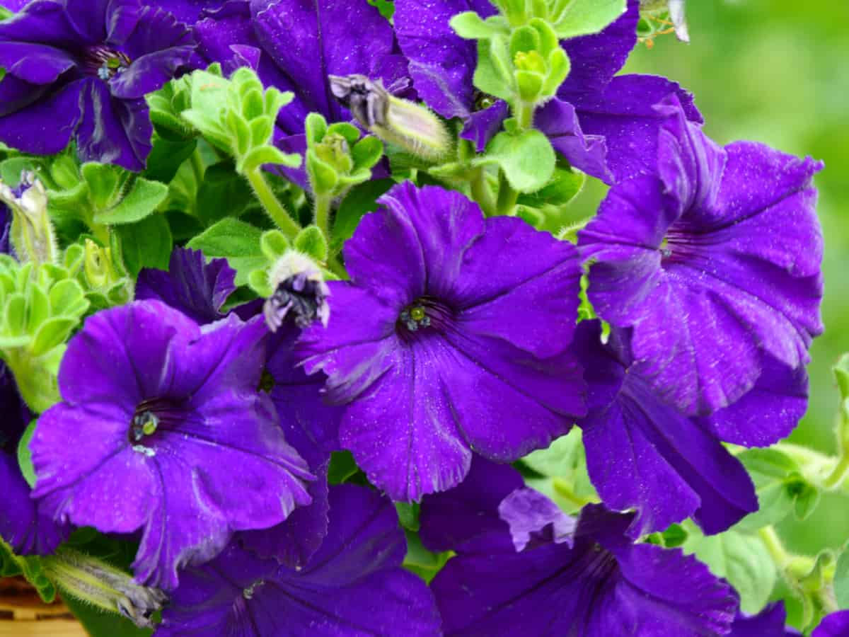 petunia is perfect for hanging baskets