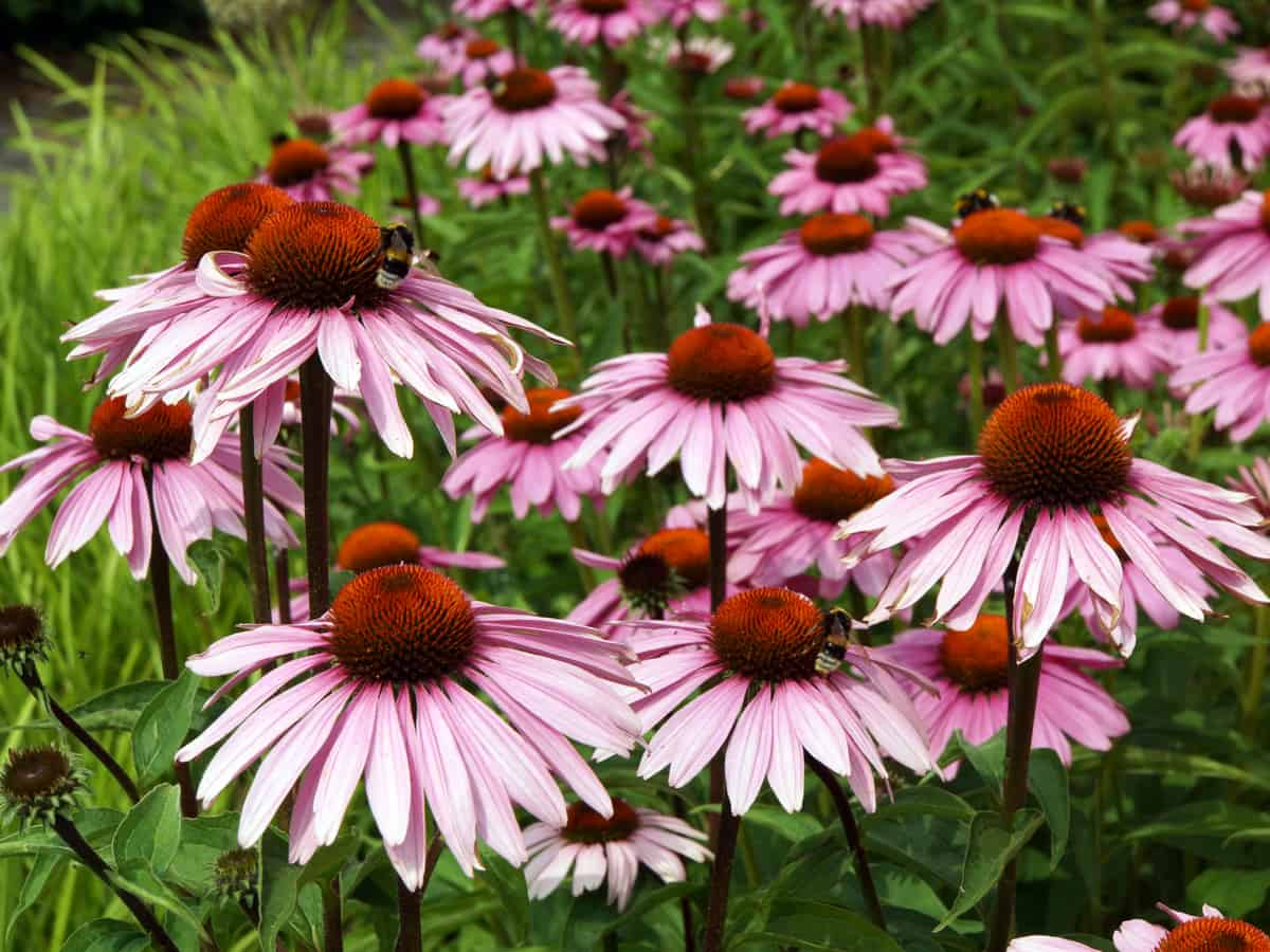 purple coneflower is a herbaceous perennial