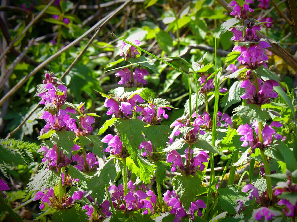 purple dead nettle is a member of the mint family
