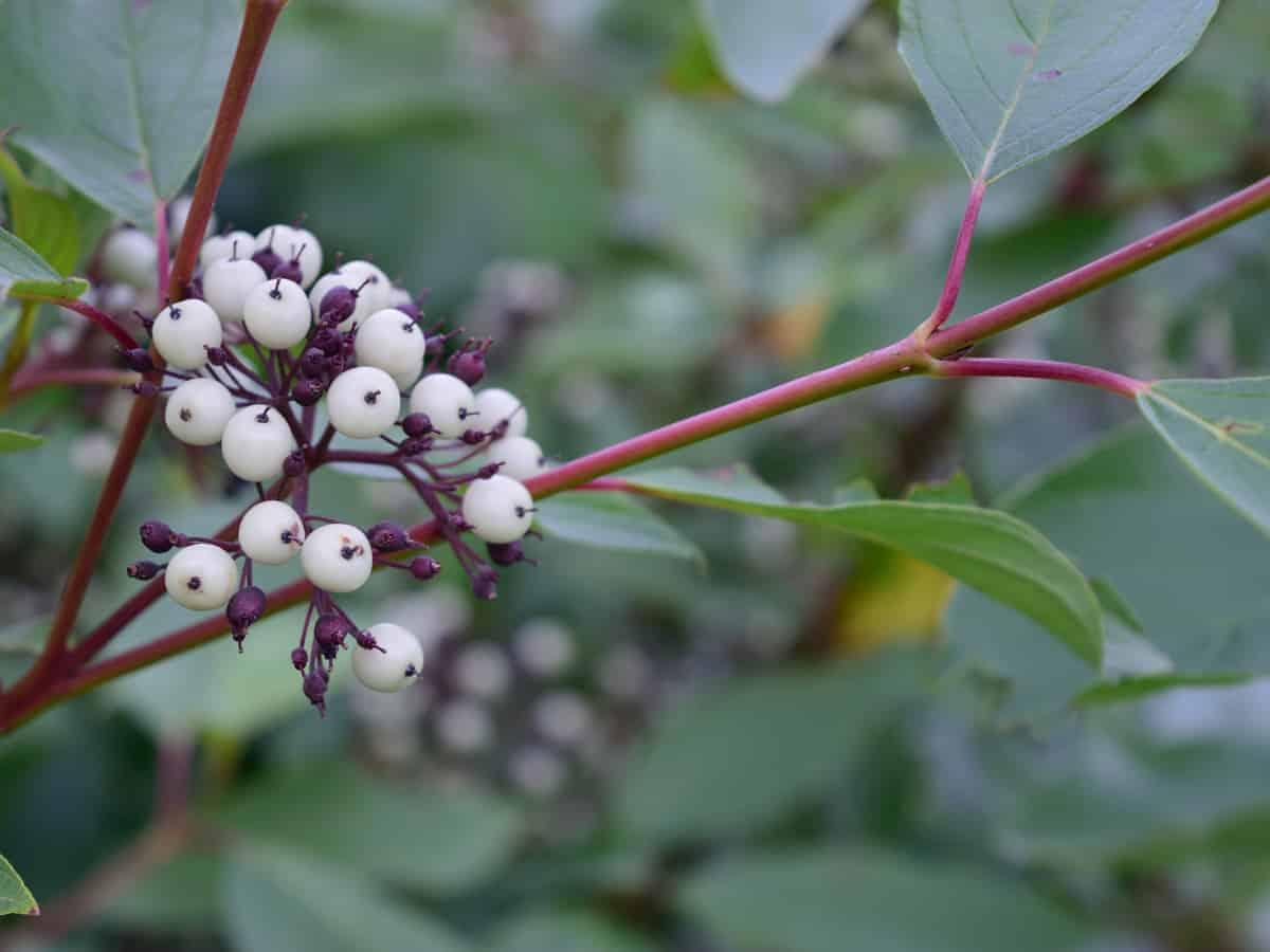 red twig dogwood is a fast growing tree that provides year round interest