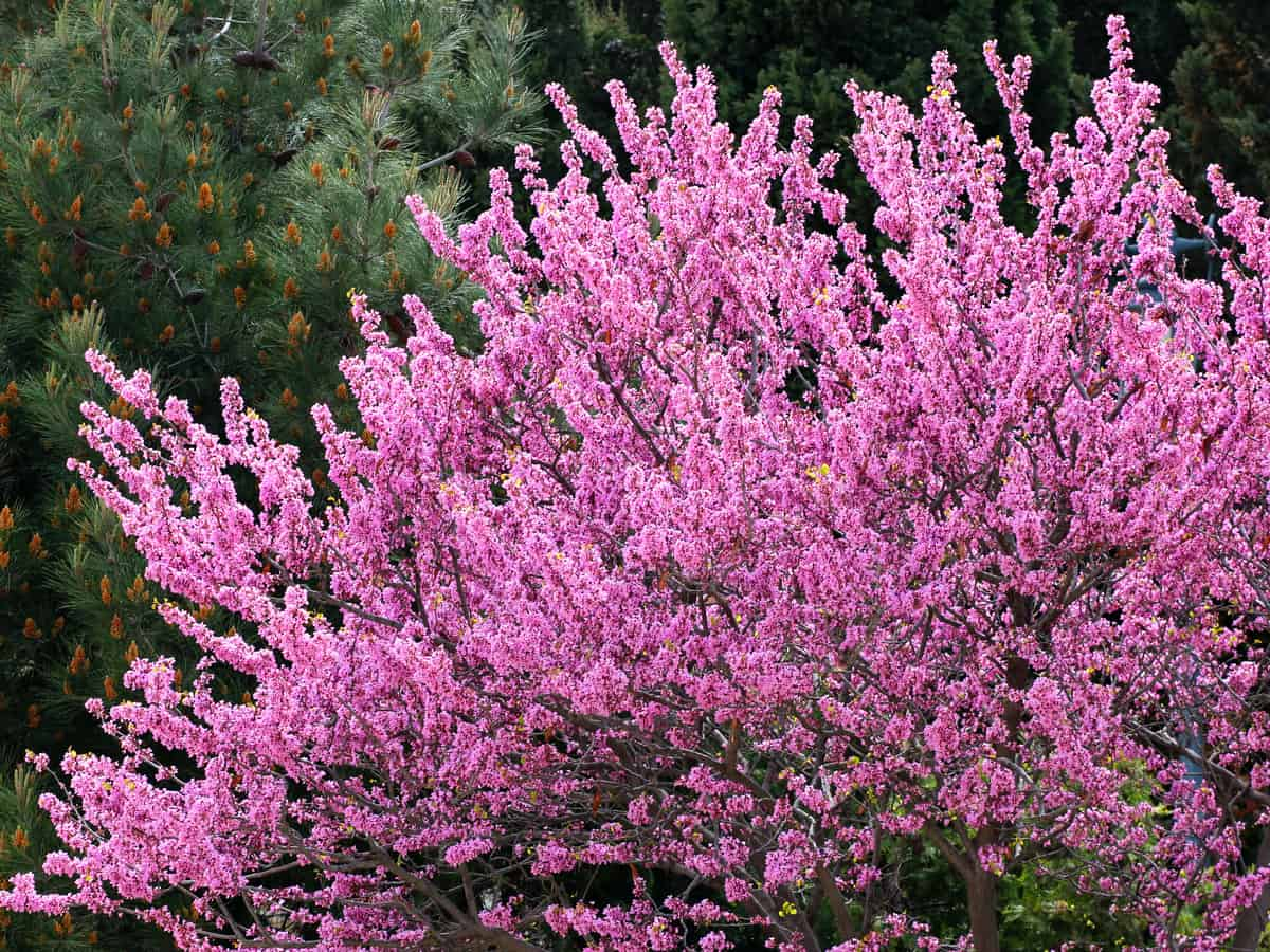 lavender twist redbud is a dwarf tree that has weeping flowers