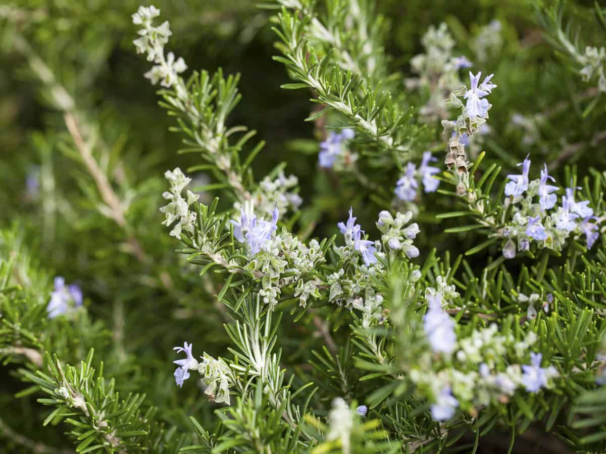 rosemary is an excellent choice for a privacy screen at the beach