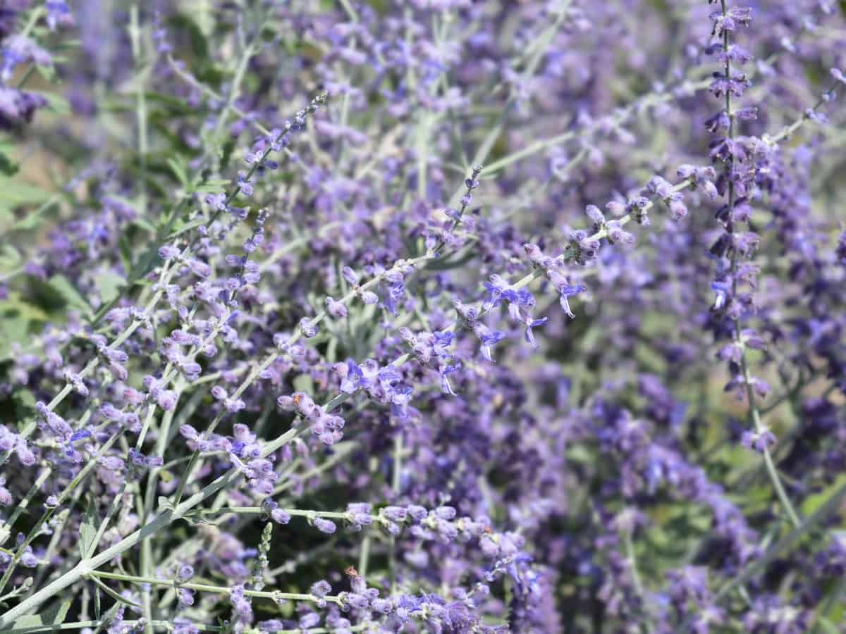 Russian sage is a tall, long-lasting perennial