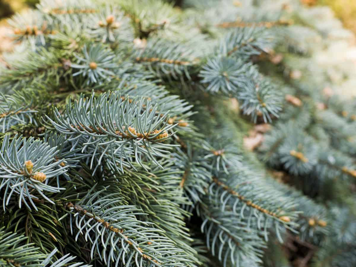 the Serbian spruce is a dwarf evergreen that doesn't need much room