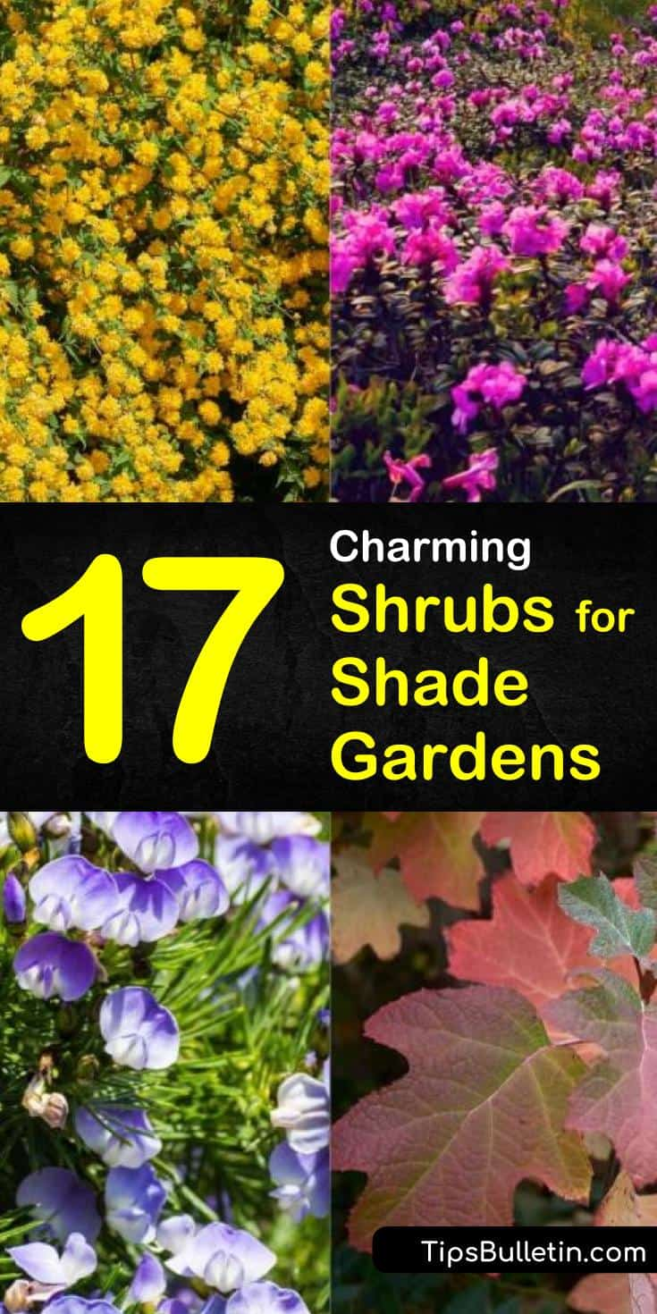 Discover which shrubs for shade are perfect evergreen perennials for front yards, backyards, and for outdoor areas around your house. We show you the drought tolerant flowering hedges that are ideal for zone 4 landscaping challenges. #shade #bushes #shrubs