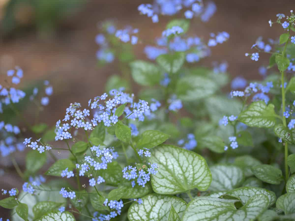 Siberian bugloss is also called the False Forget-Me-Knot