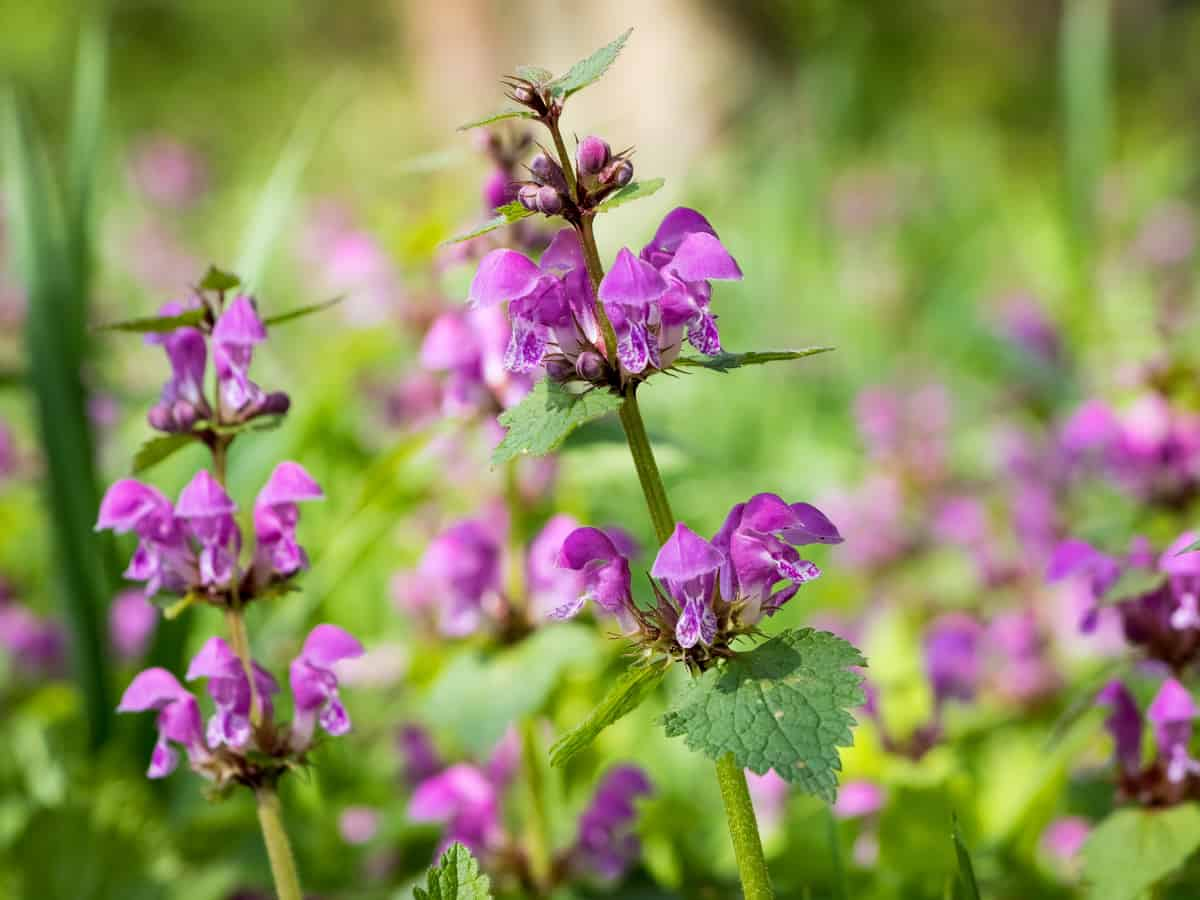 spotted dead nettle makes a thick ground cover