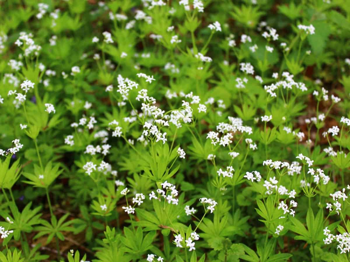 sweet woodruff is a perennial ground cover plant