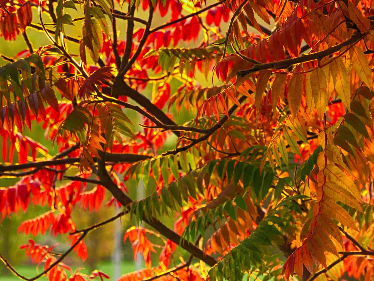 tiger eyes sumac offers spectacular color in every season
