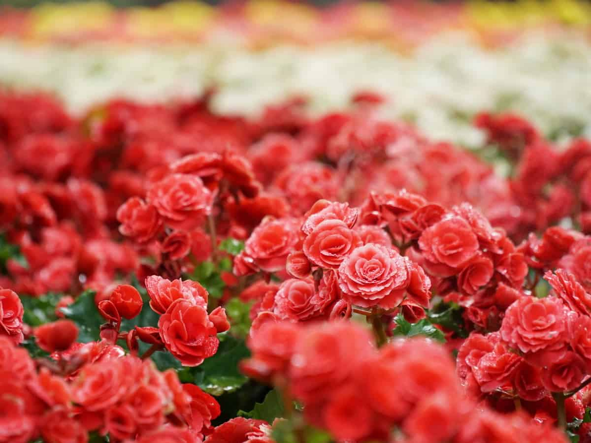 tuberous begonias are colorful flowers that are the best plants for hanging baskets