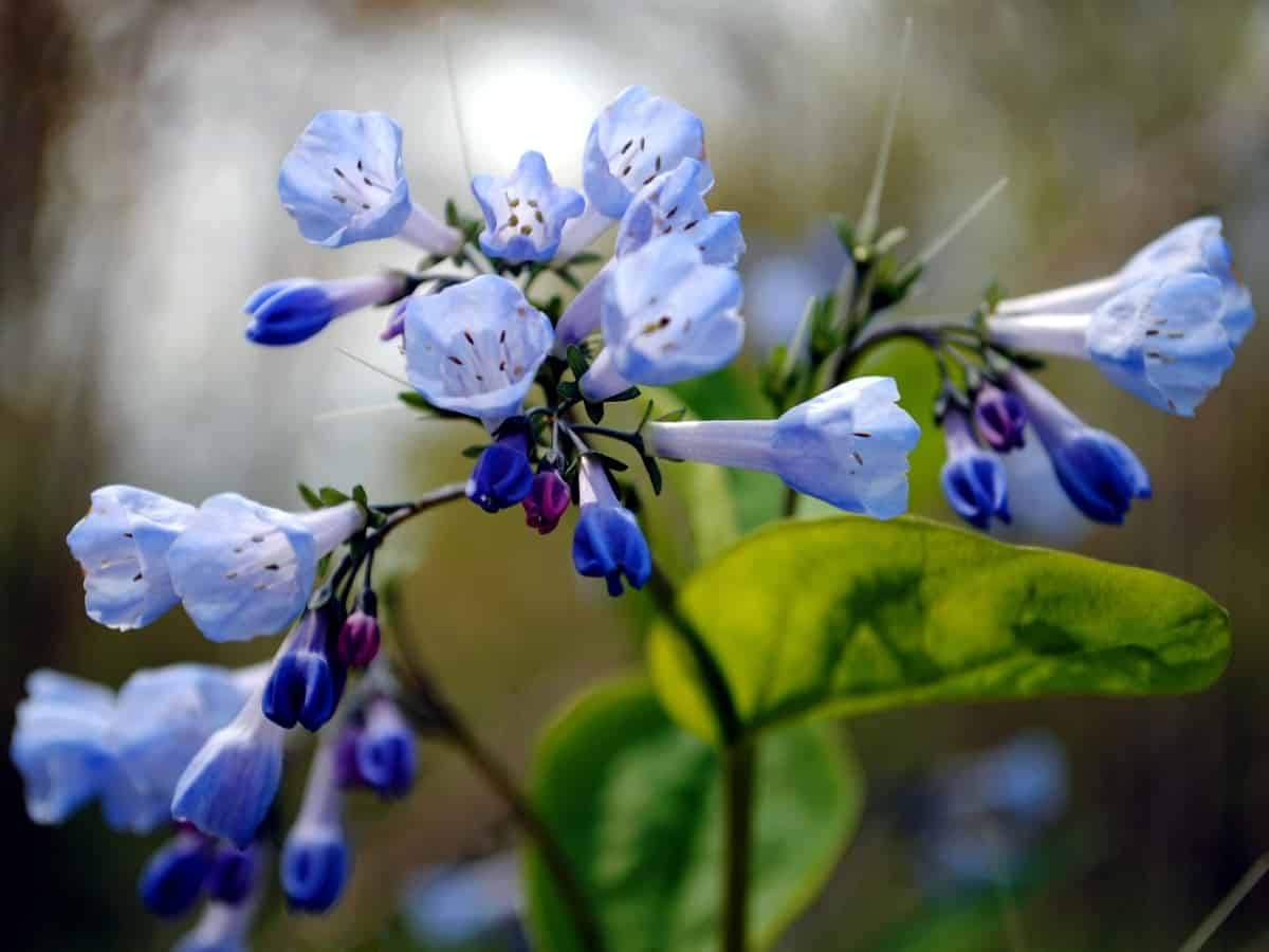 Virginia bluebells are delicate flowers that thrive even in shade
