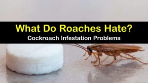 what do roaches hate titleimg1