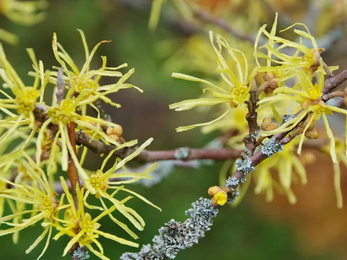 witch hazel thrives in dark corners