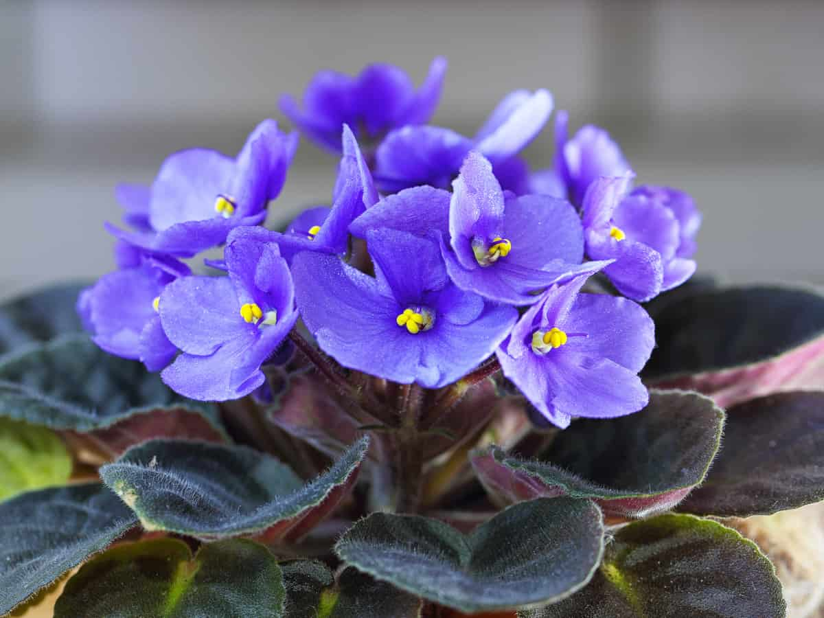 the African violet is a popular houseplant that is easy-care