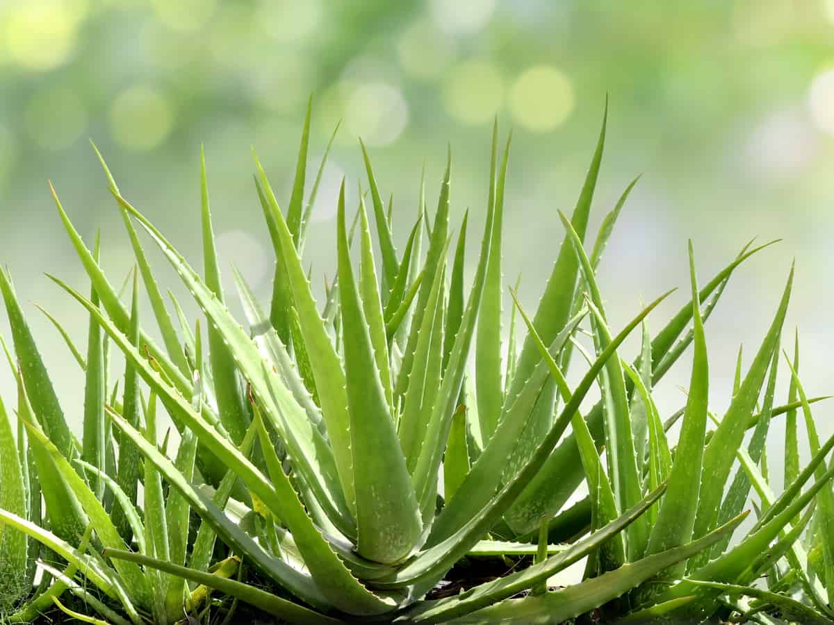 for an easy plant to grow, you need an aloe vera