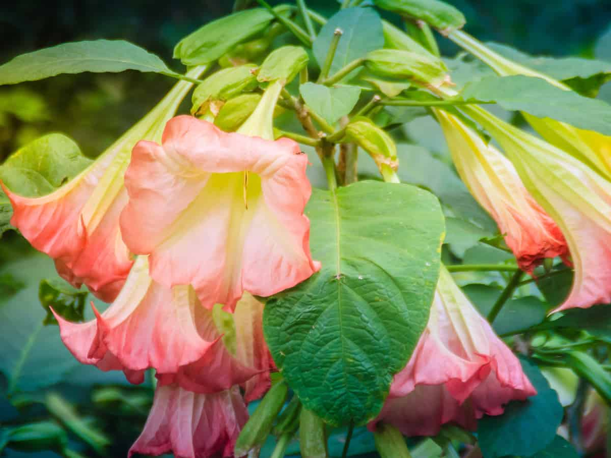angel's trumpet has gorgeous flowers
