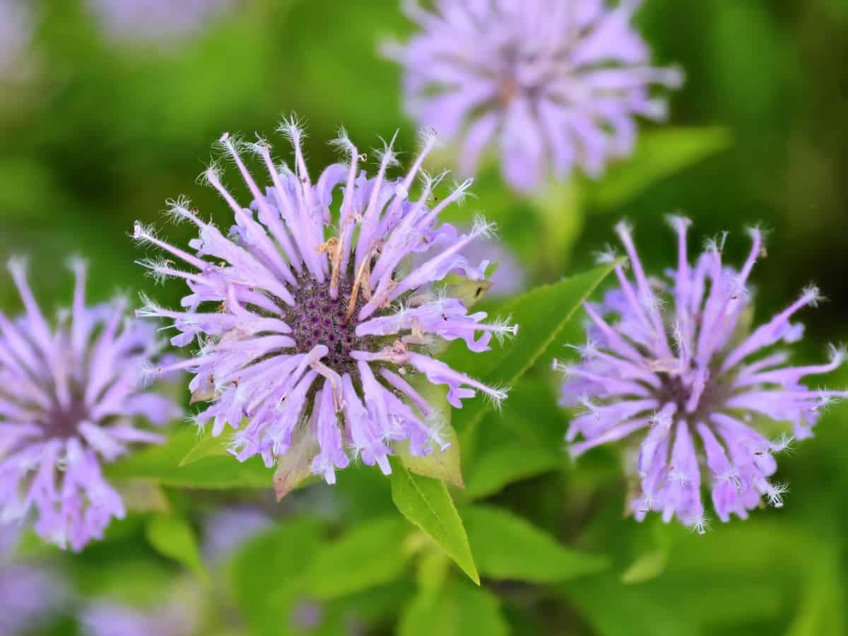 bee balm attracts beneficial pollinators