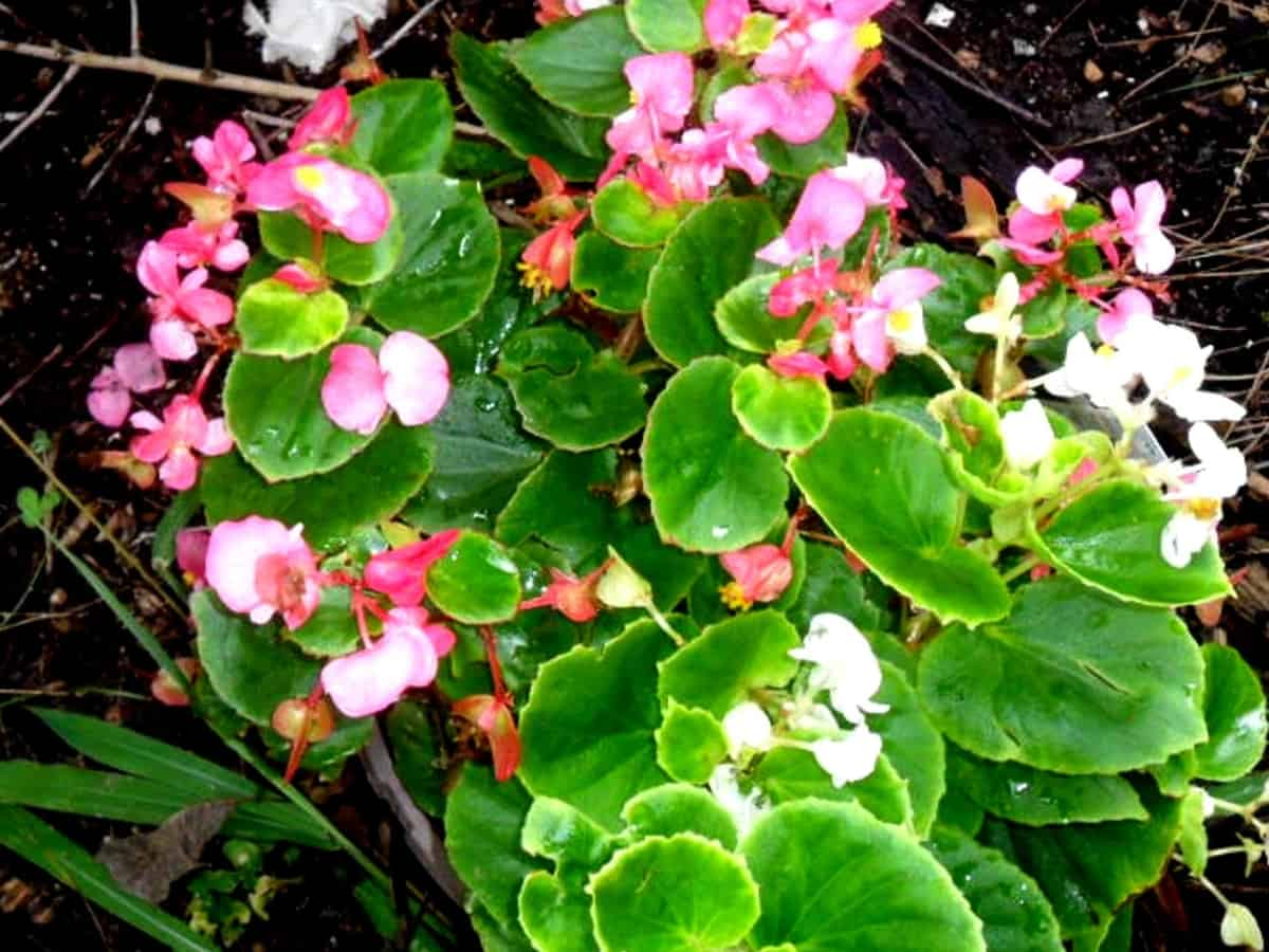 begonias come in many different varieties