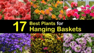 best plants for hanging baskets titleimg1