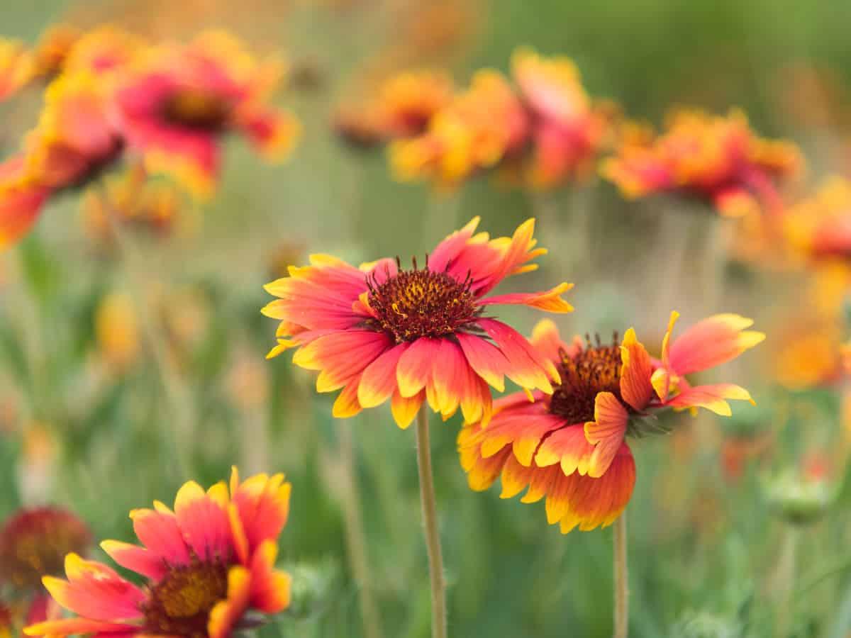 blanket flower is drought tolerant