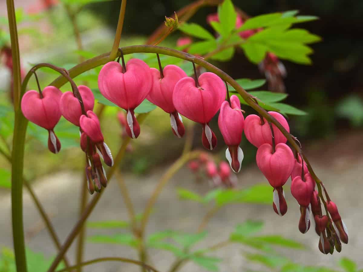 for a spectacular perennial, grow some bleeding heart
