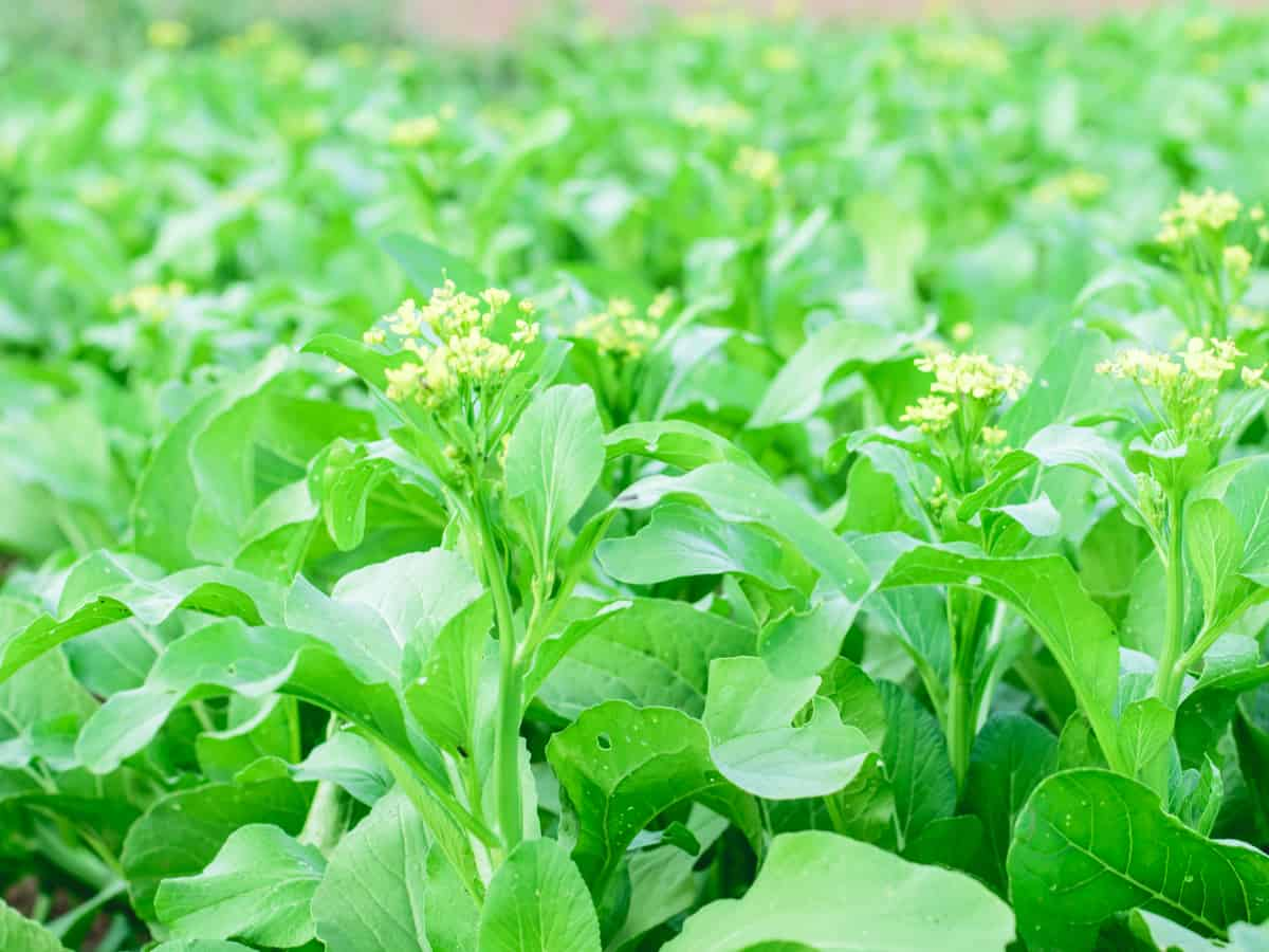 grow bok choy - its a fastest growing vegetable plant