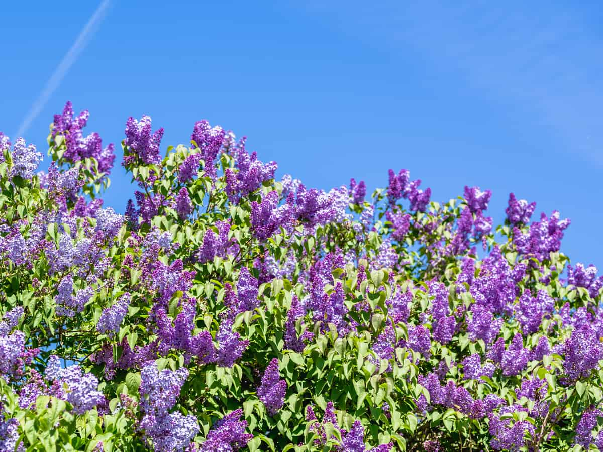 the boomerang lilac is disease-resistant