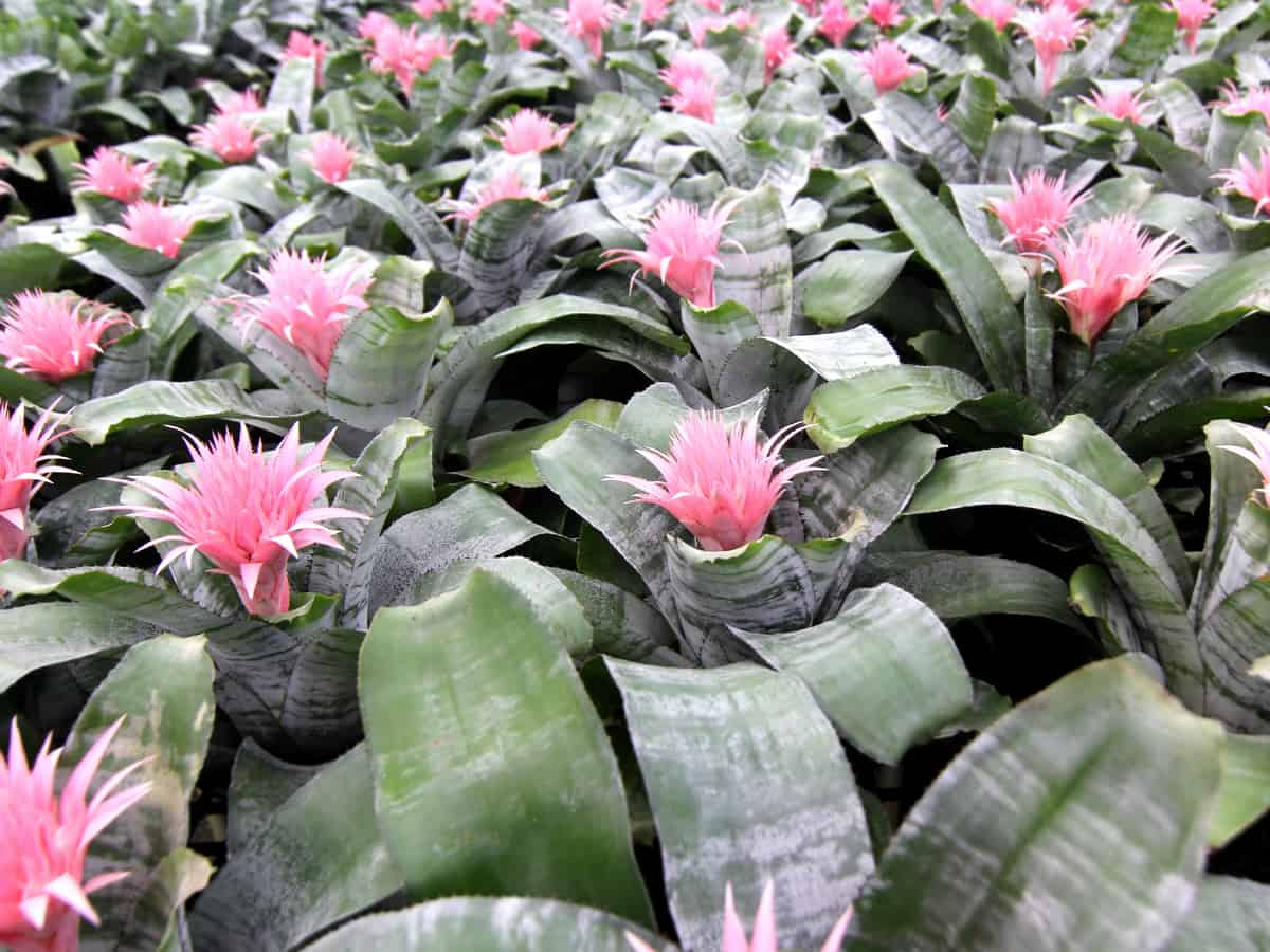 bromeliads have both showy leaves and flowers