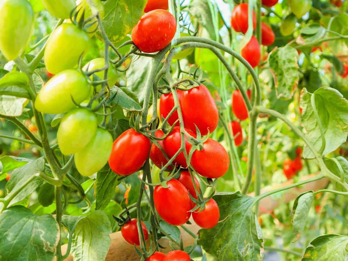 it's hard to kill cherry tomatoes