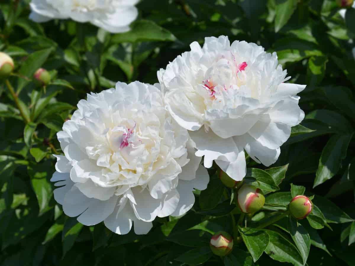 the Chinese peony is a perennial with a fantastic scent