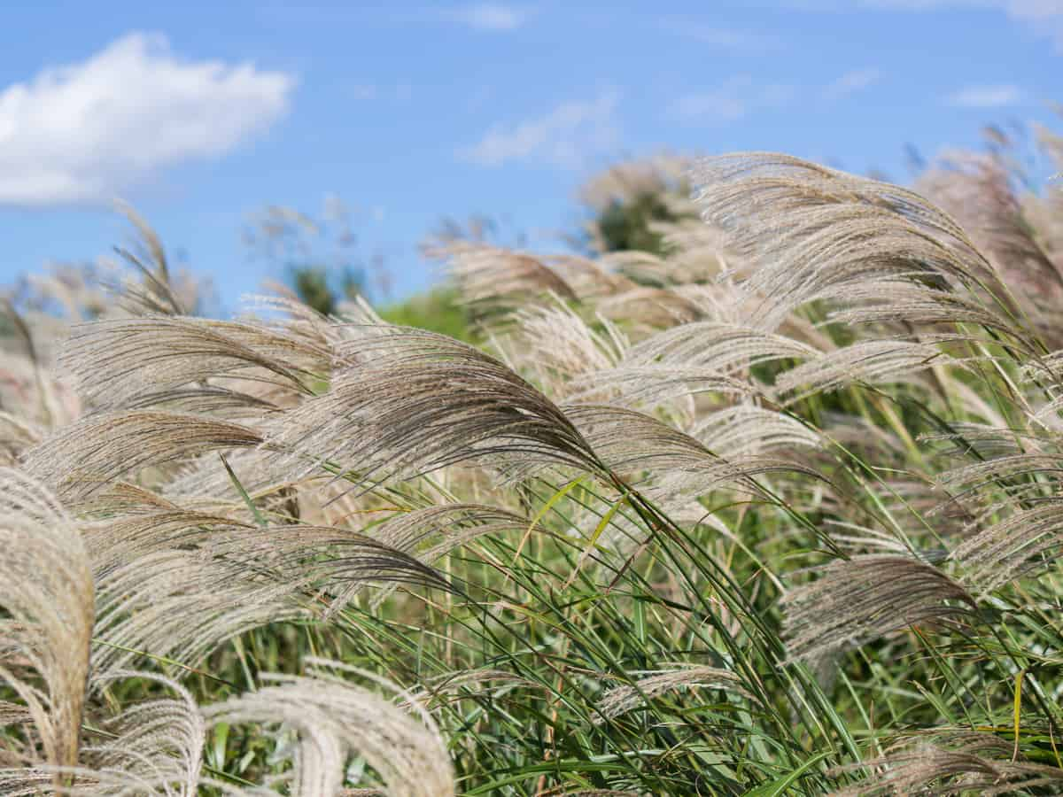 Chinese silver grass can get out of control if you don't divide it regularly