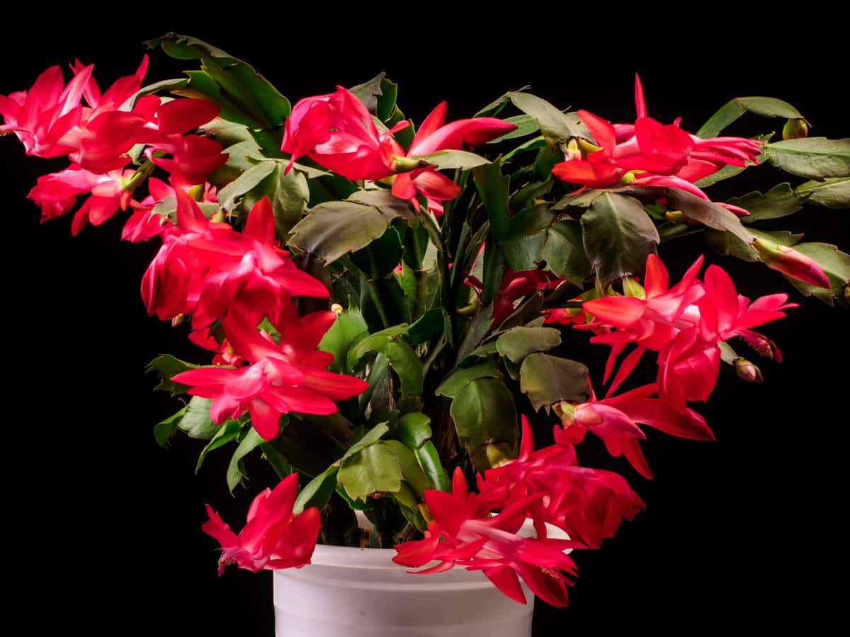 Christmas cactus requires very little maintenance
