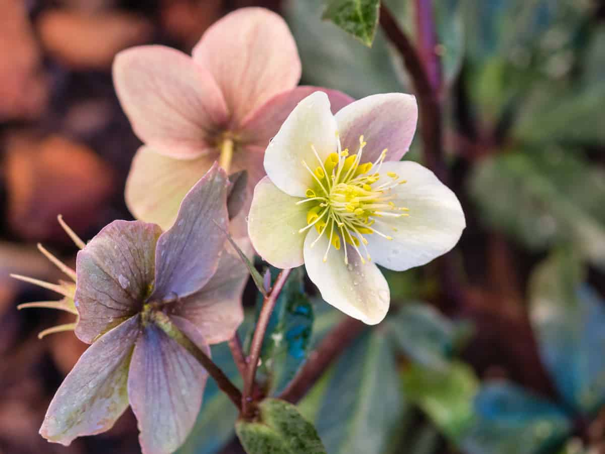 the Christmas rose is a shade-loving perennial that is happy in a pot