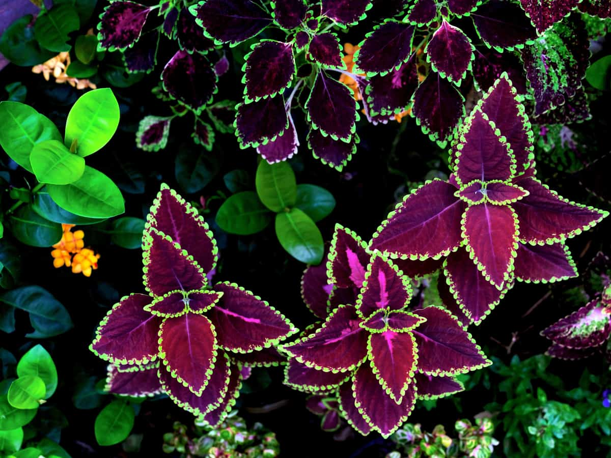for spectacular shade flowers for pots, grow coleus for year round interest