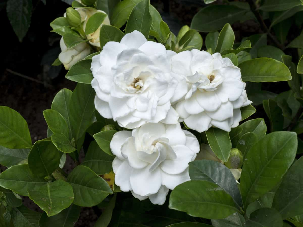 the common gardenia is  high maintenance