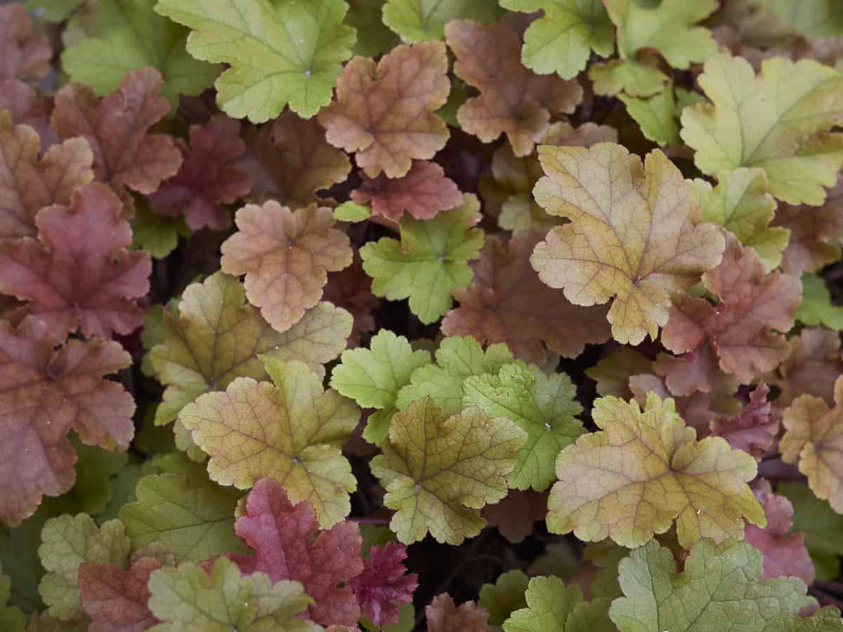 while the tiny flowers of coral bells are lovely it is the leaves that are the real shows-stopper
