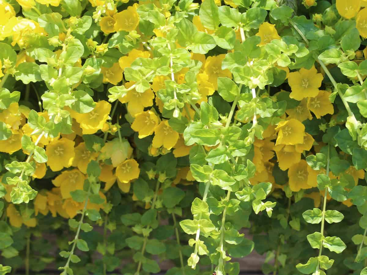enjoy the beautiful yellow leaves of the creeping Jenny