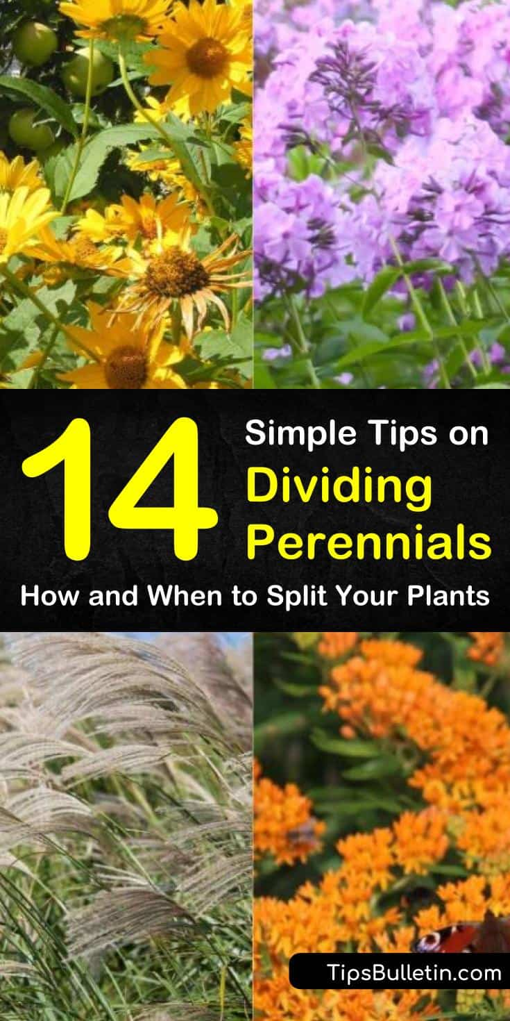Find out which plants are the best dividing perennials with our guide. We show you which residents of your flower gardens and yards can go from seeds in the spring to division in fall. Your perennials will thank you. #dividing #perennials #plants