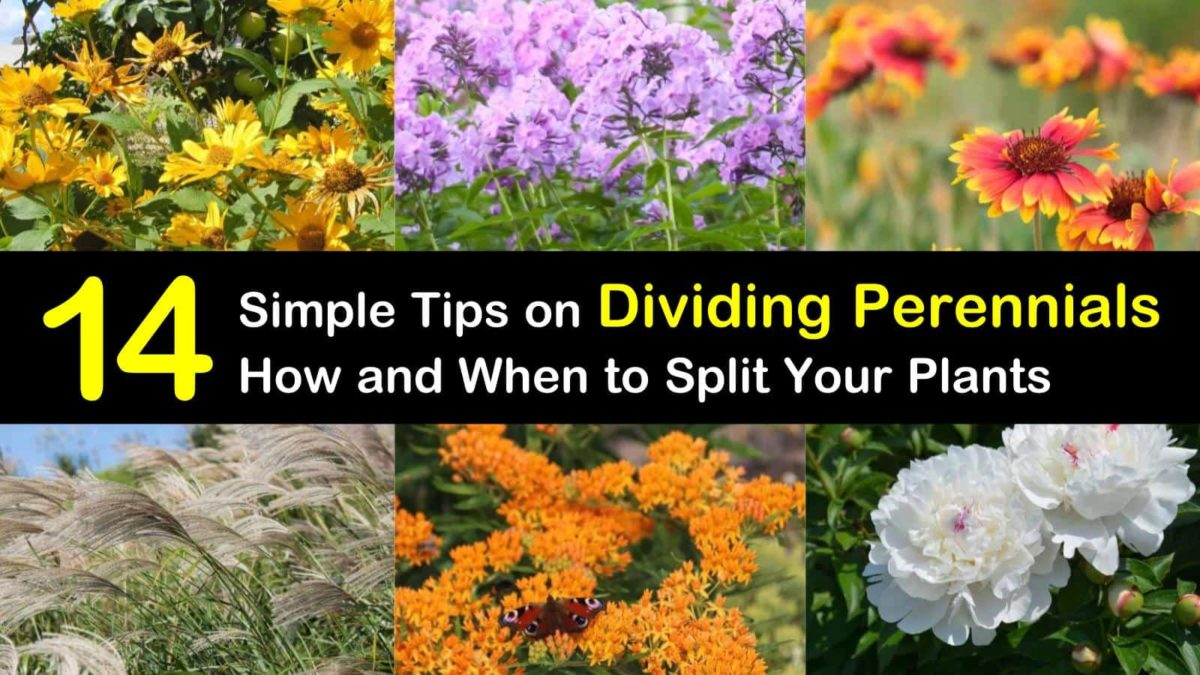 14 Simple Tips on Dividing Perennials - How and When to Split Your...