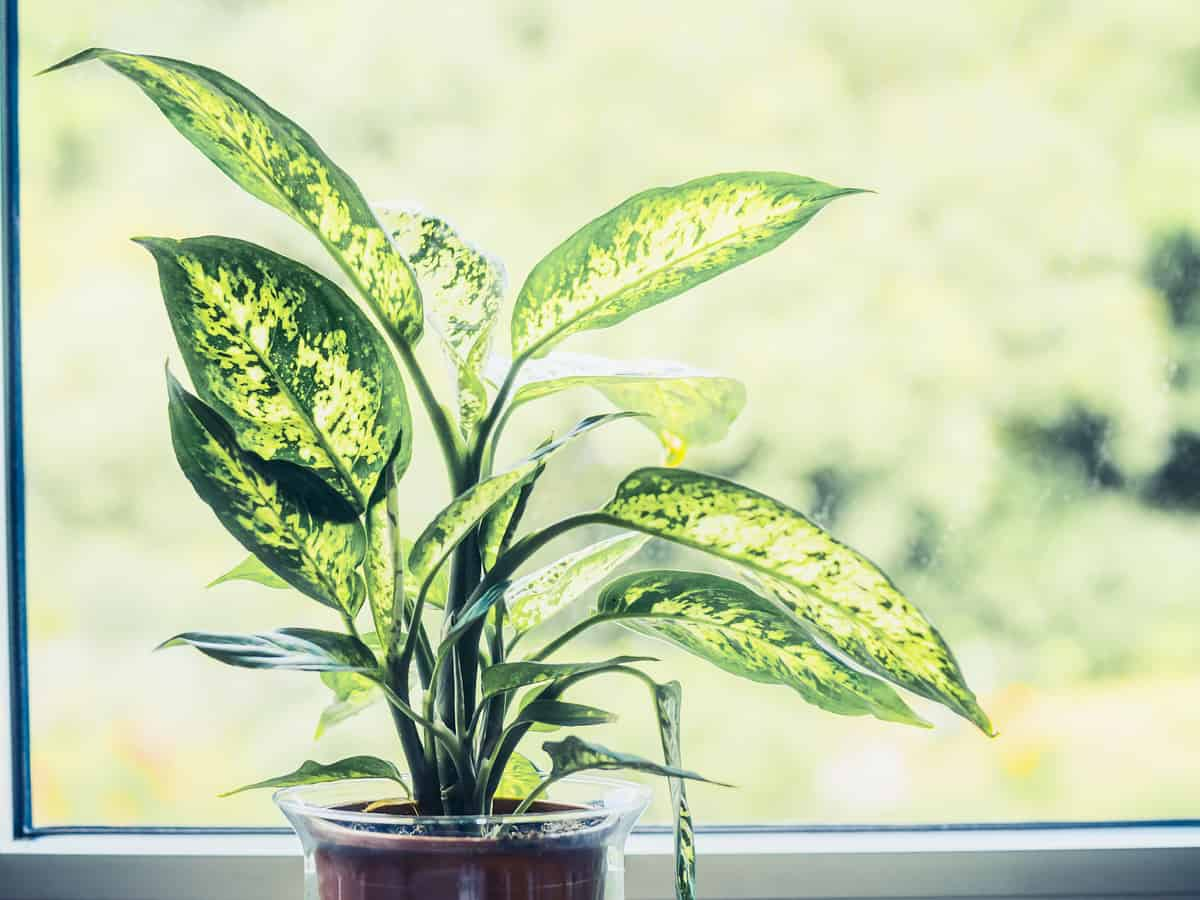 dumb cane works best as an indoor plant