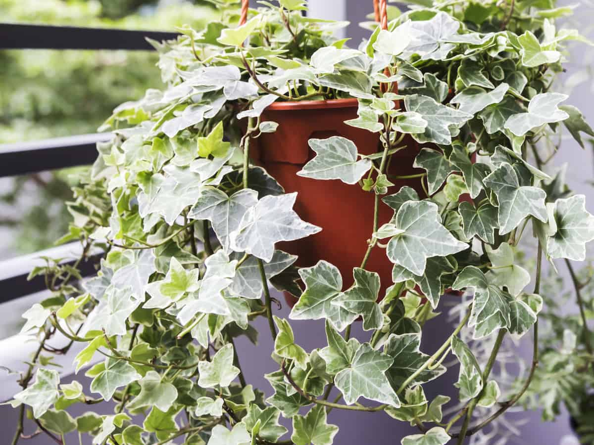English ivy is hard to kill, whether indoors or out