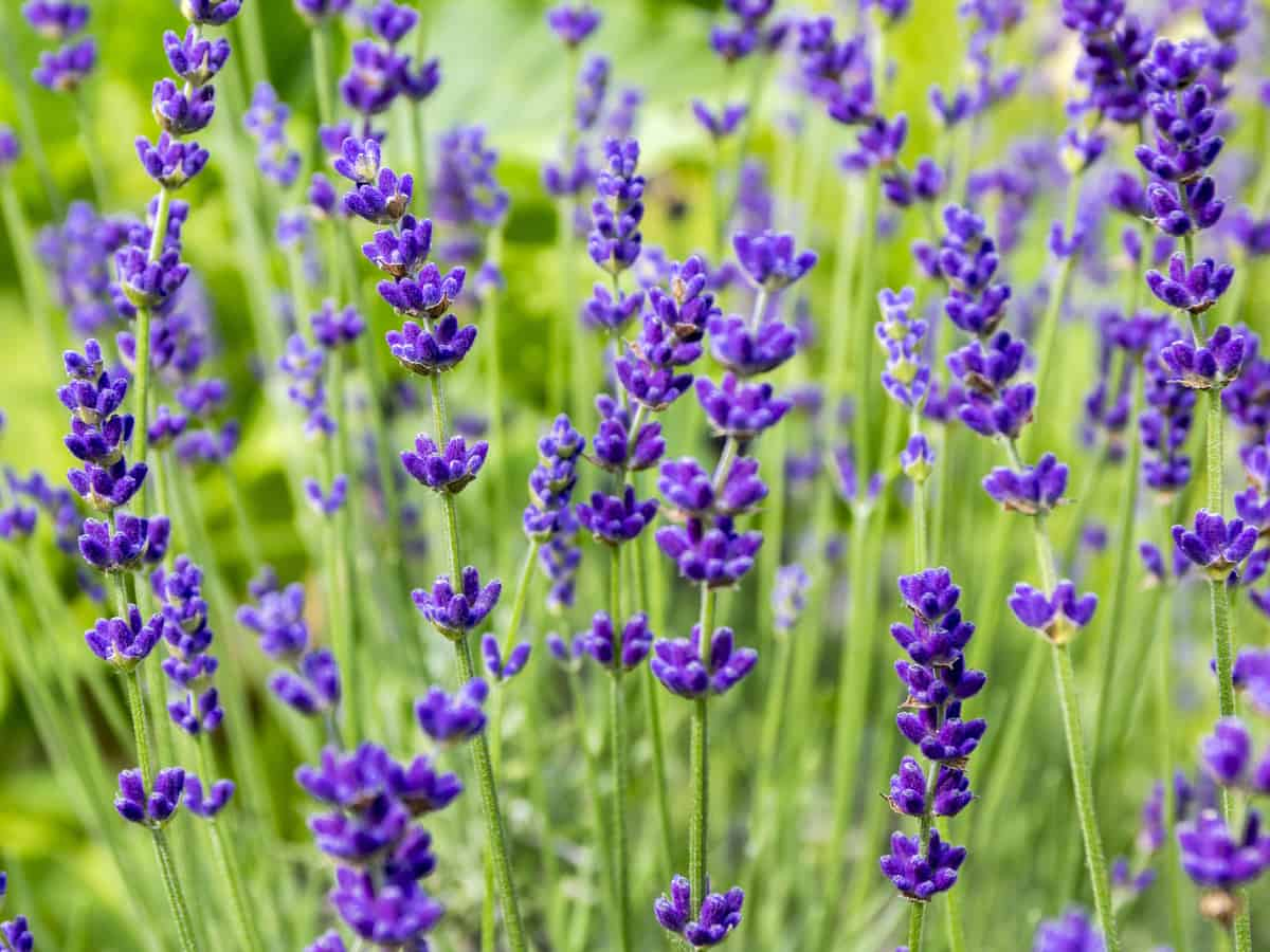 English lavender is an herb with lovely flowers and fragrance