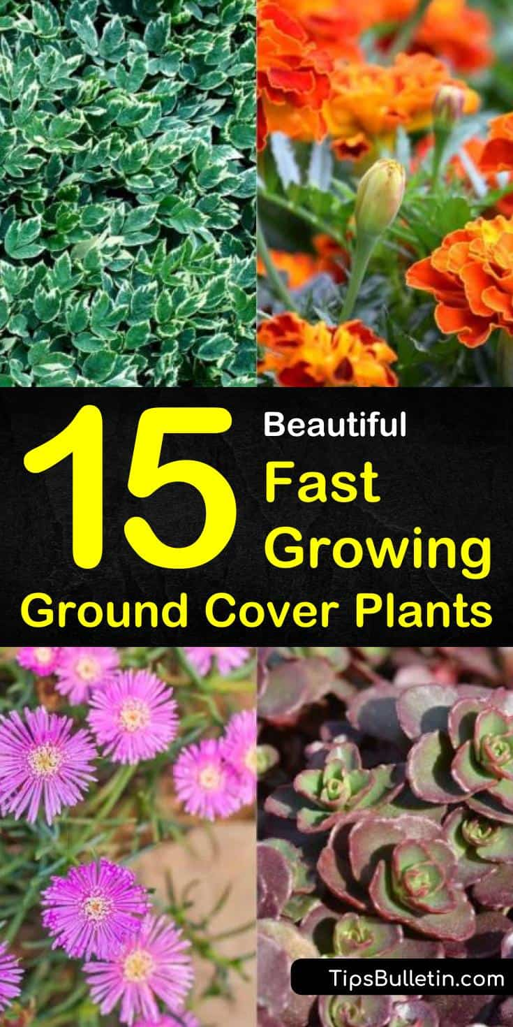 Learn which fast growing ground cover plants are perfect between stepping stones or paired with ornamental grasses. Discover rapid growing evergreen shrubs with pink, purple, or yellow flowers. Try these amazing quick spreading ground cover plants in your backyard. #fastgrowing #groundcover #plants