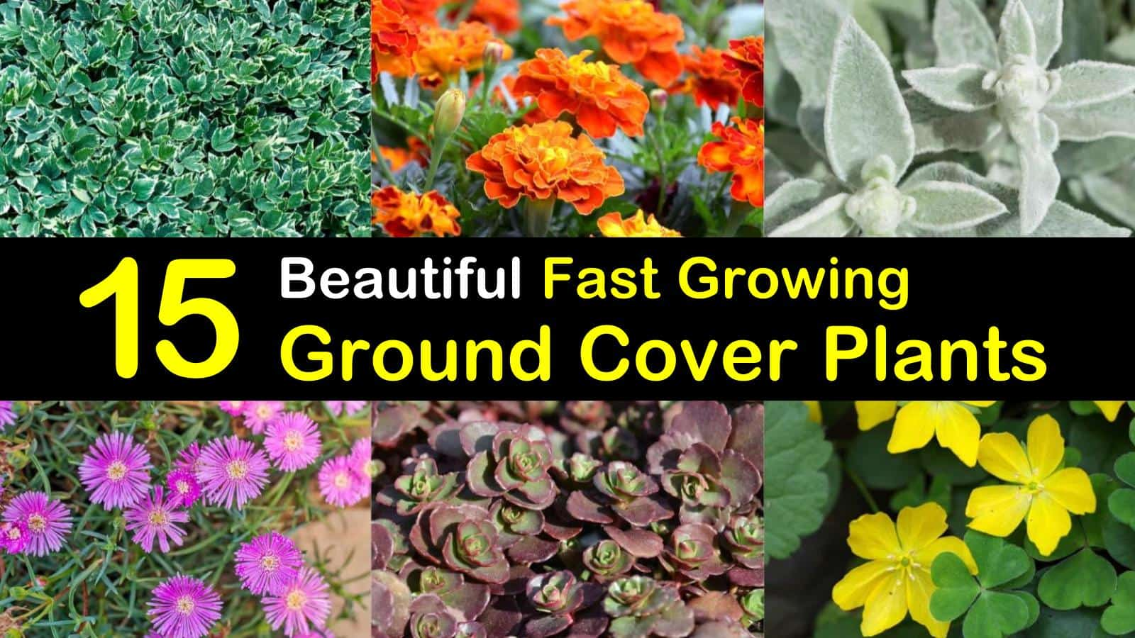 fast growing ground cover plants titleimg1