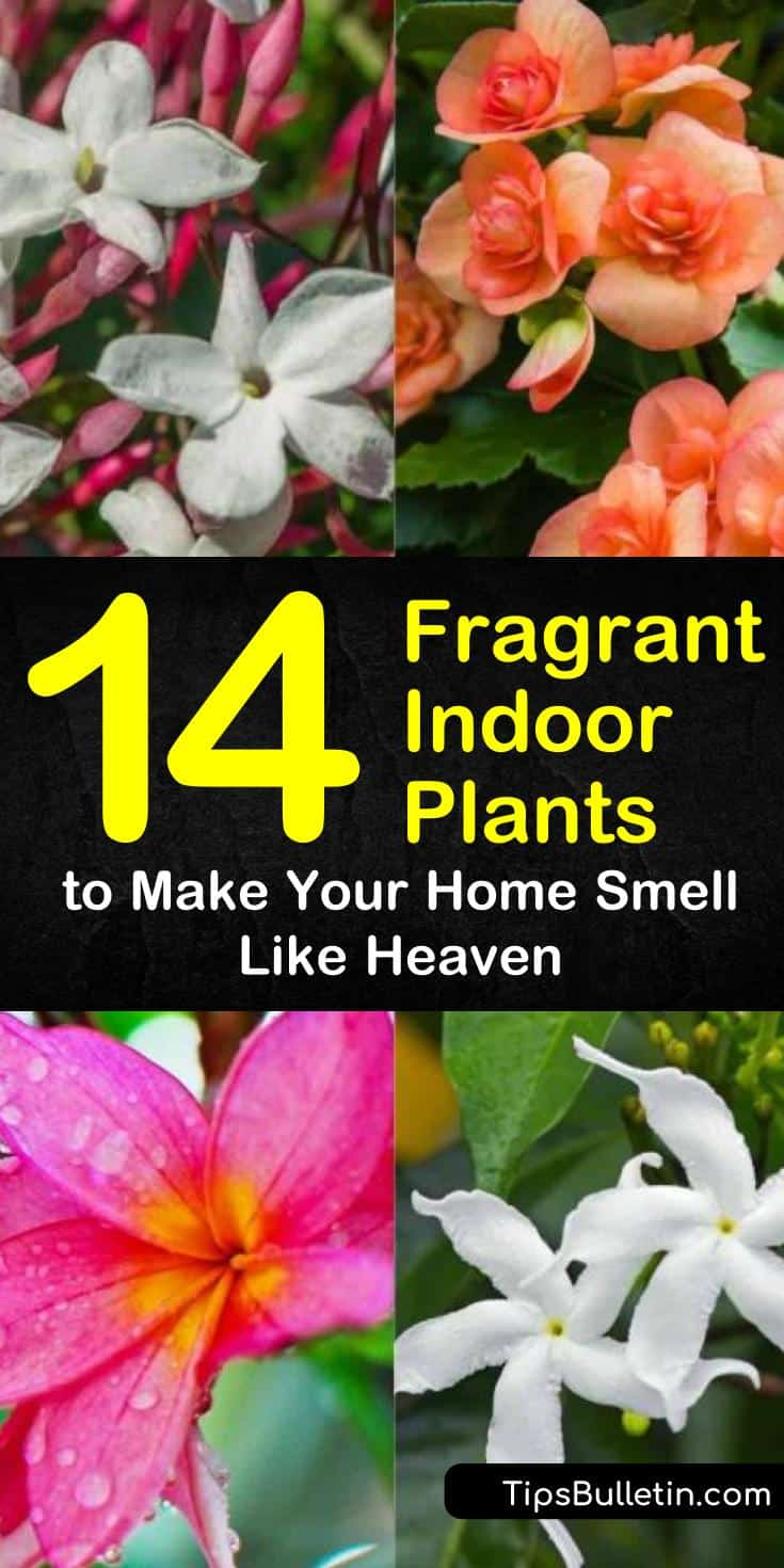 Discover how to grow fragrant indoor plants that will keep your home looking and smelling beautiful. Our guide shows you the best perennials and houseplants to grow in pots from seeds or bulbs and gives you low light garden ideas for houseplant heaven. #indoorplants #fragrant #houseplants